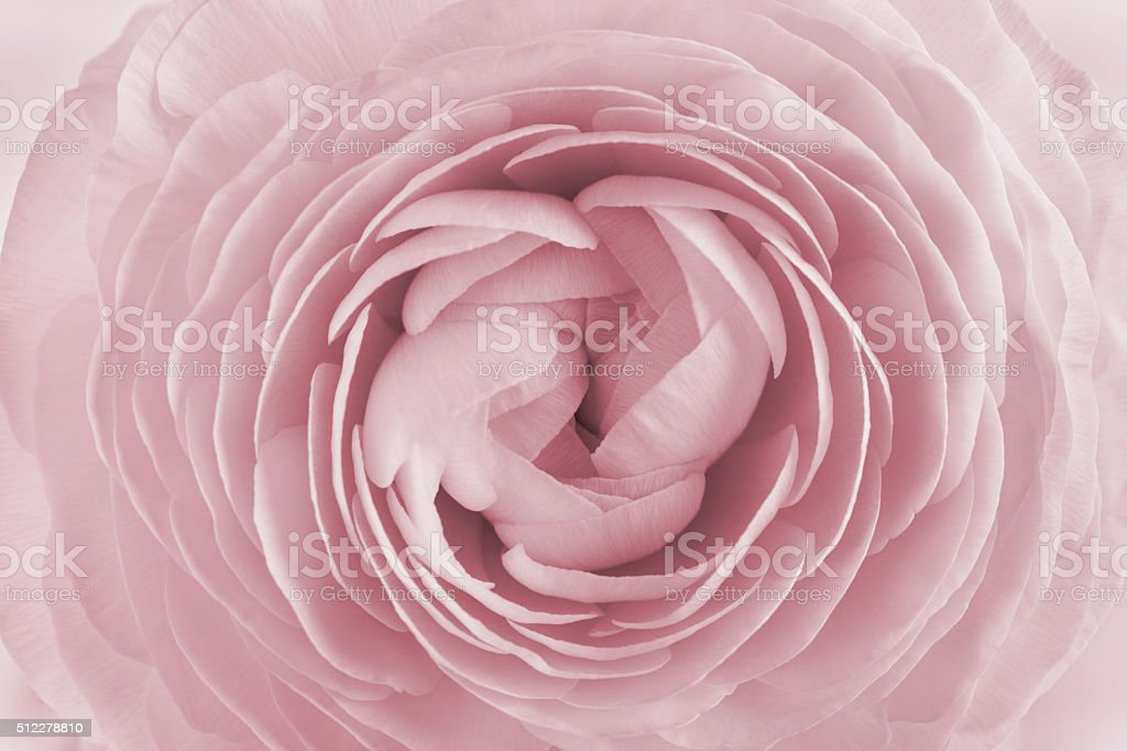 Closeup of ranunculus, spring flower, vintage floral pattern, macro stock photo