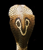 Close-up of Rear View of a Spectacled Cobra