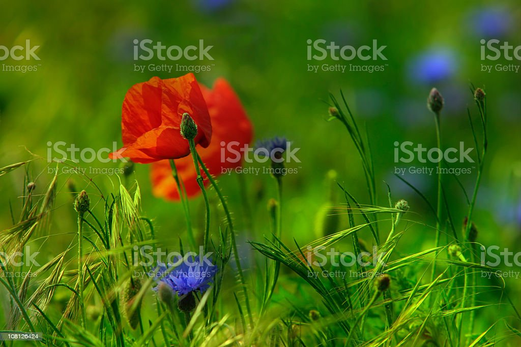Close-up of Red and Purple Wild Flowers in Green Meadow royalty-free stock photo