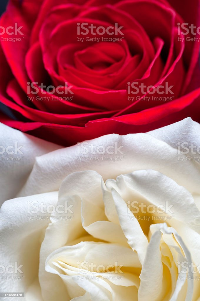 Close-up of Red and White Rose with Open Petals royalty-free stock photo