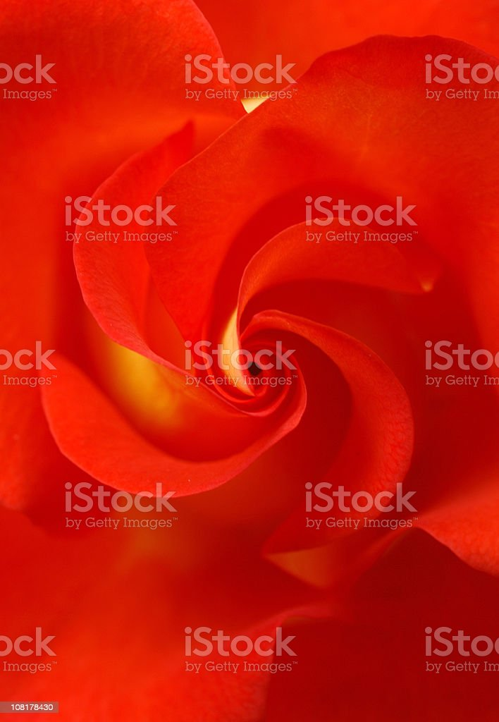 Close-up of Red and Yellow Rose Petals royalty-free stock photo