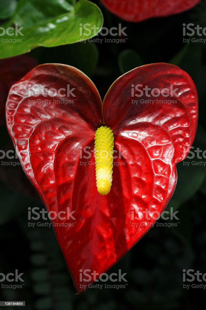Close-up of Red Anthurium royalty-free stock photo