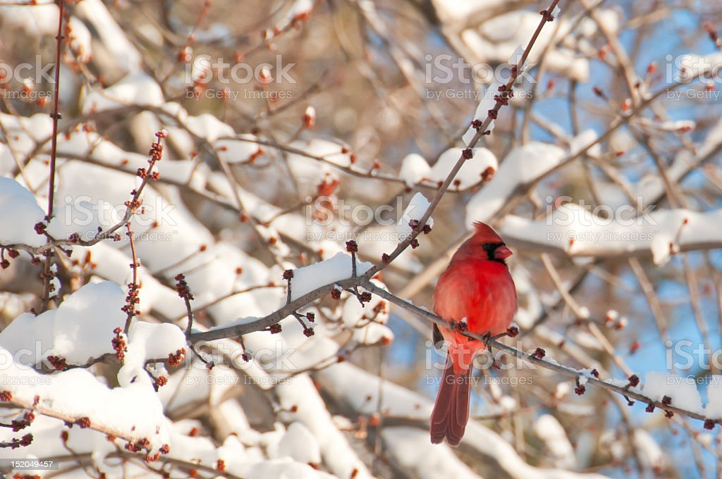 Close-up of red cardinal perched on a tree branch in winter stock photo