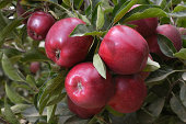 Close-up of Red Delicious Apples Rippening on Tree