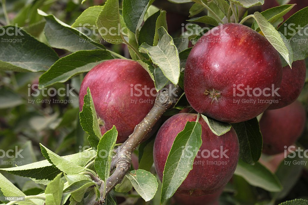 Close-up of Red Delicious Apples Rippening on Tree royalty-free stock photo