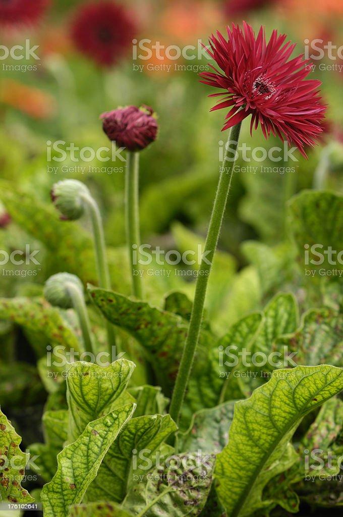 Close-up of Red Gerbera Daisies stock photo