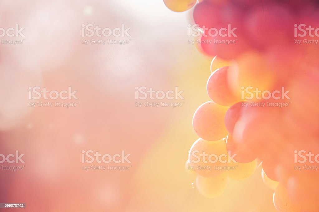 Close-up of Red grape in the vineyard stock photo