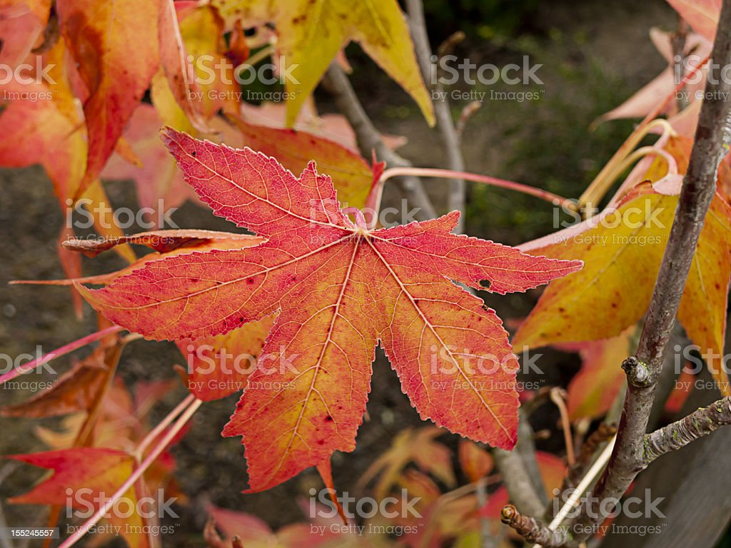 Closeup of red maple leaf on Fall acer tree stock photo