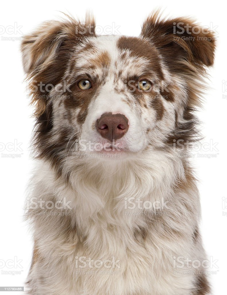 Close-up of Red Merle Border Collie, white background stock photo