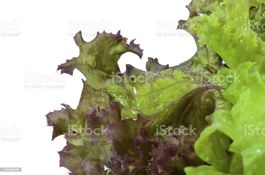 Closeup of Red Oakleaf Lettuce - isolated on white royalty-free stock photo