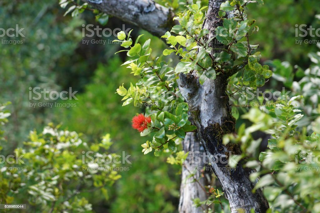 Close-up of Red Ohi'a Flowers in bloom on branch of tree stock photo