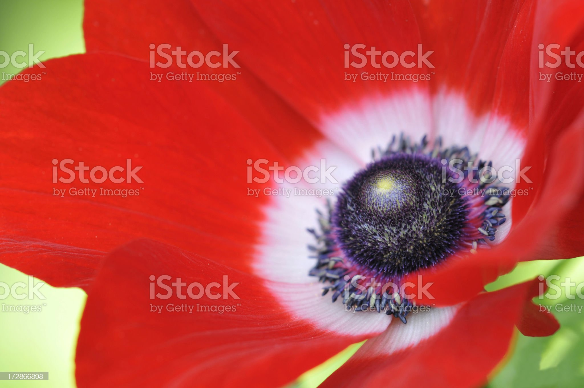 Closeup of Red Oriental Poppy royalty-free stock photo