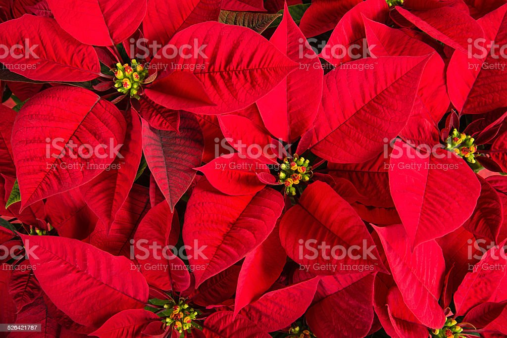 Closeup of red poinsettia flowers stock photo