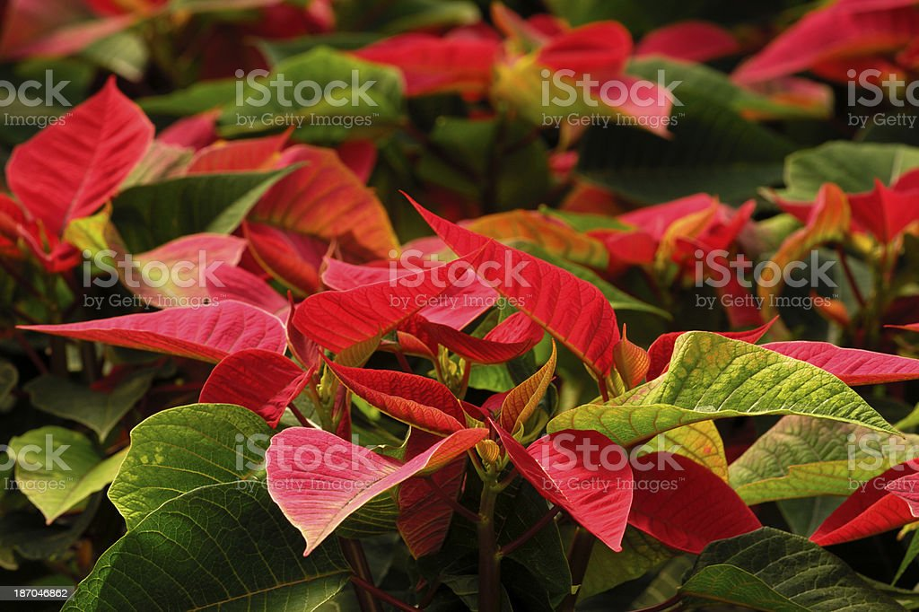 Close-up of Red Poinsettias in Greenhouse royalty-free stock photo