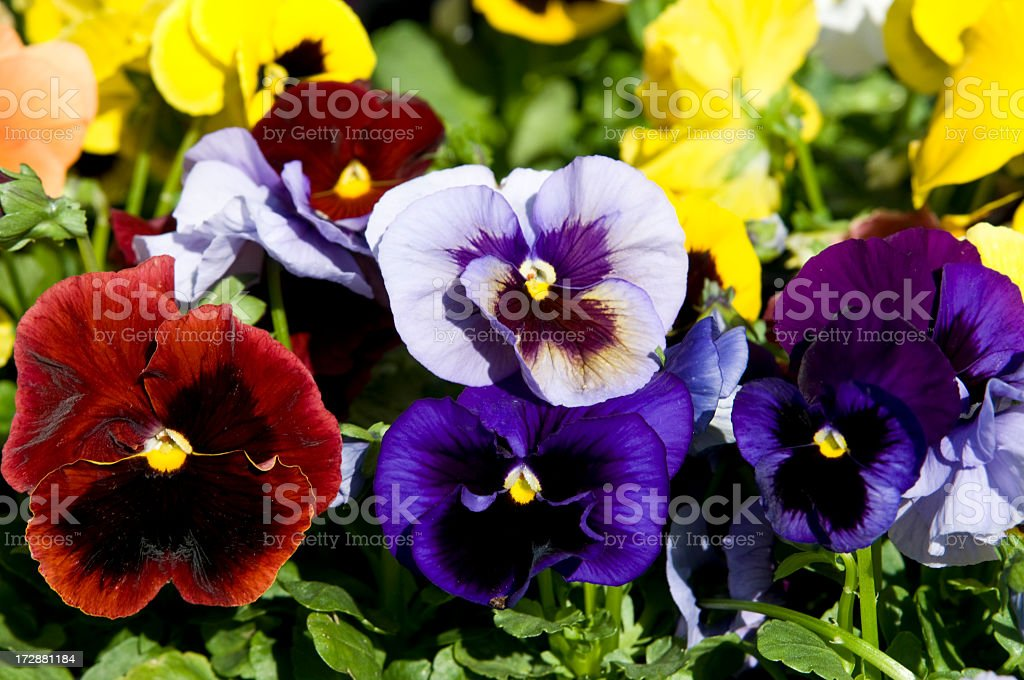 A close-up of red, purple, violet and yellow pansies stock photo