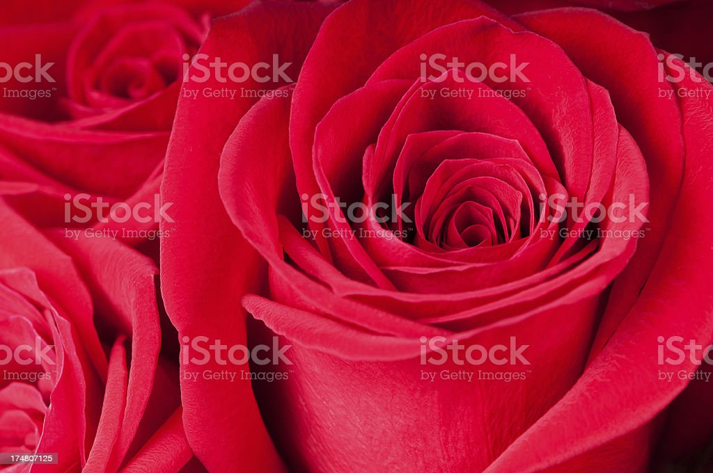 Closeup of Red Rose in a Bouquet royalty-free stock photo