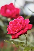 Closeup of red rose in garden