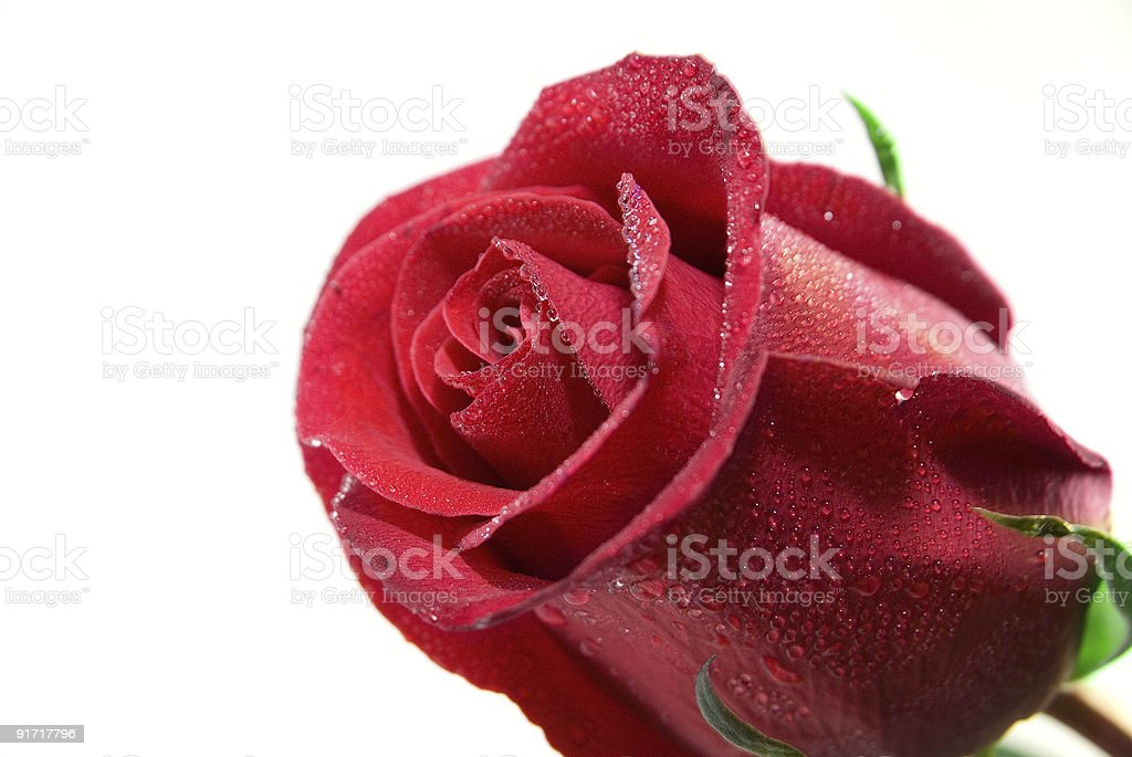 Gros plan de rose rouge photo libre de droits