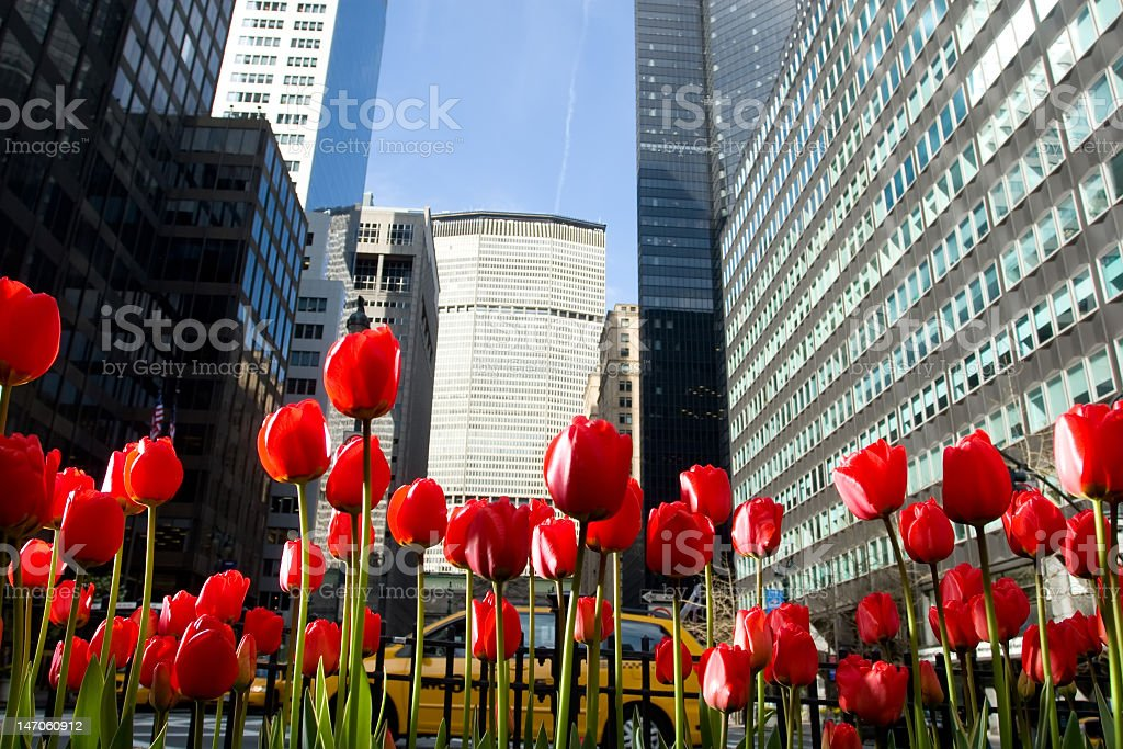 Close-up of red tulips on New York City's Park Avenue stock photo