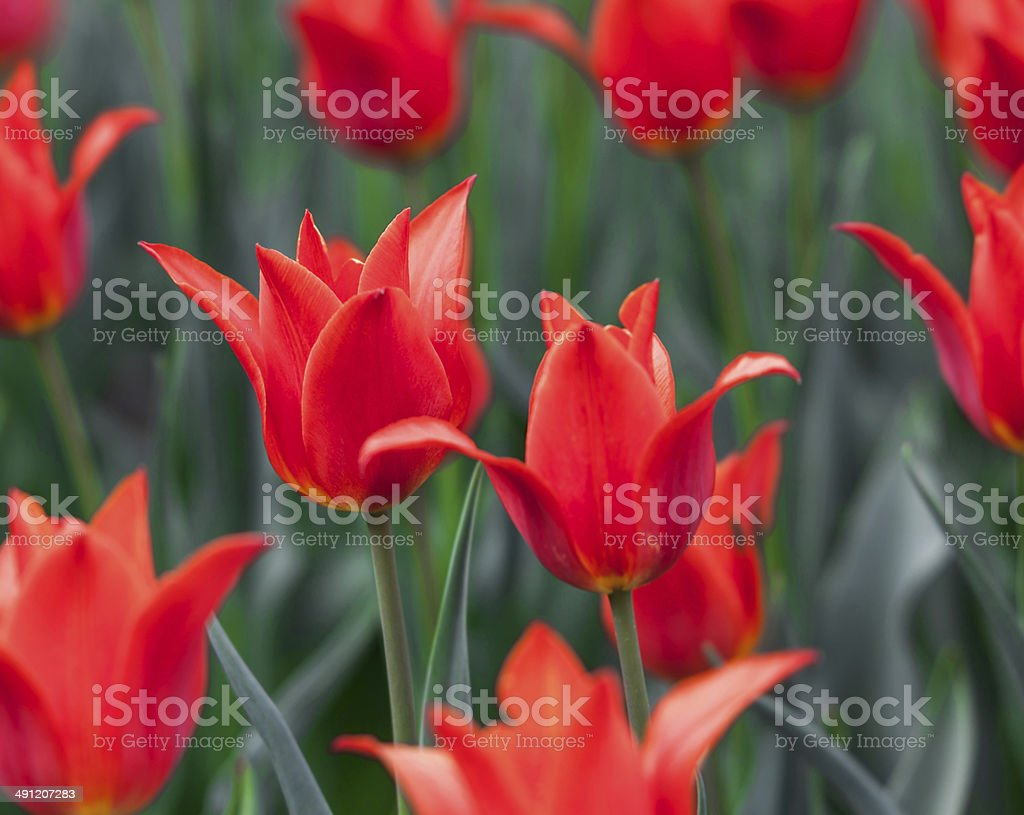 closeup of red tulips royalty-free stock photo