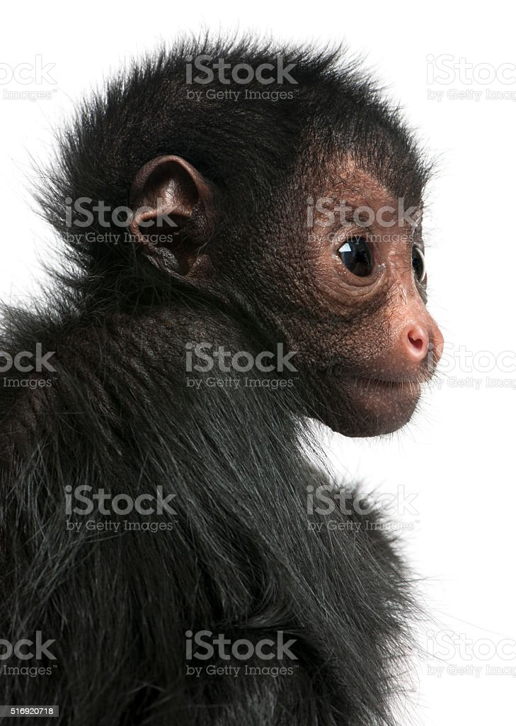 Close-up of Red-faced Spider Monkey, Ateles paniscus, 3 months old, stock photo