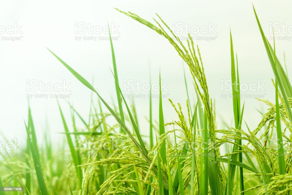 Closeup of rice in field stock photo