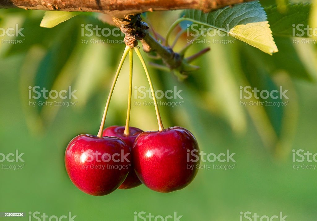 Closeup of ripe cherry in the evening light stock photo
