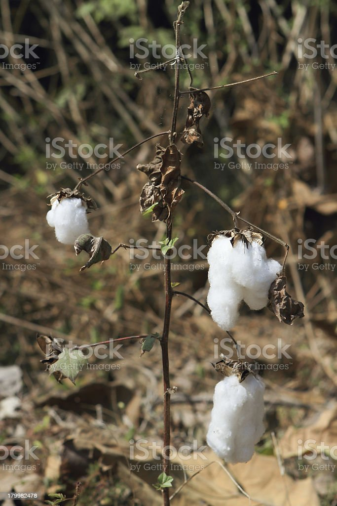 Close-up of Ripe cotton   on branch royalty-free stock photo