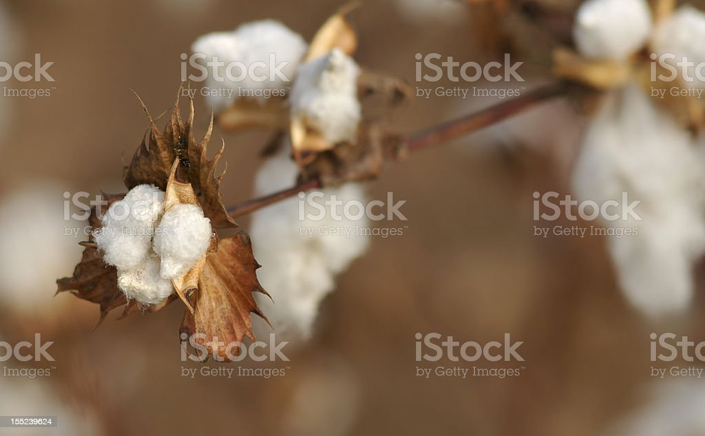 closeup of ripe cotton plant royalty-free stock photo