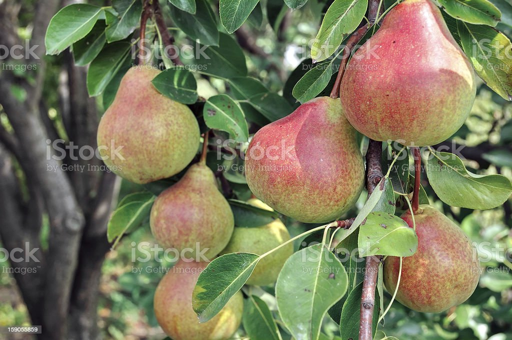 close-up of ripe pears royalty-free stock photo