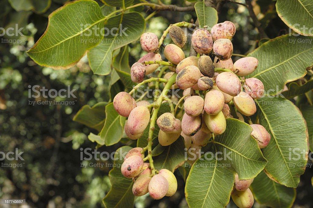 Close-up of Ripe Pistachio on Tree stock photo