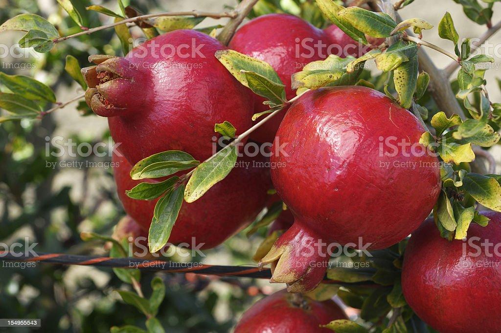 Close-up of Ripe Pomegranates on Tree stock photo