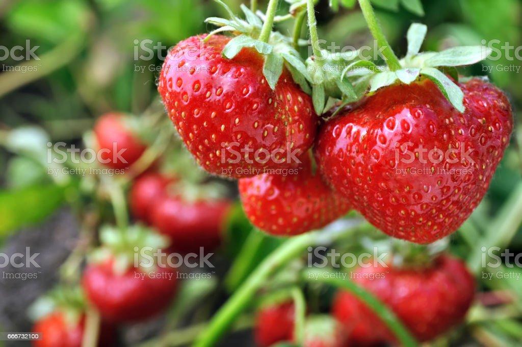 close-up of ripe strawberry stock photo