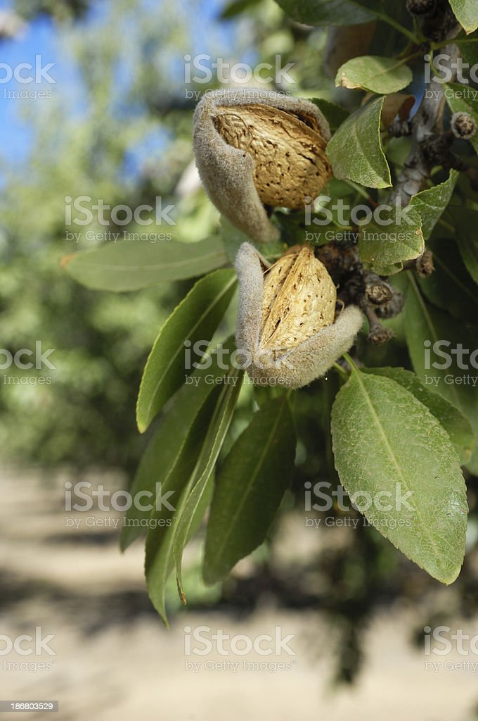Close-up of Ripening Almonds on Tree stock photo