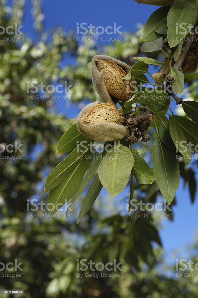 Close-up of Ripening Almonds on Tree royalty-free stock photo