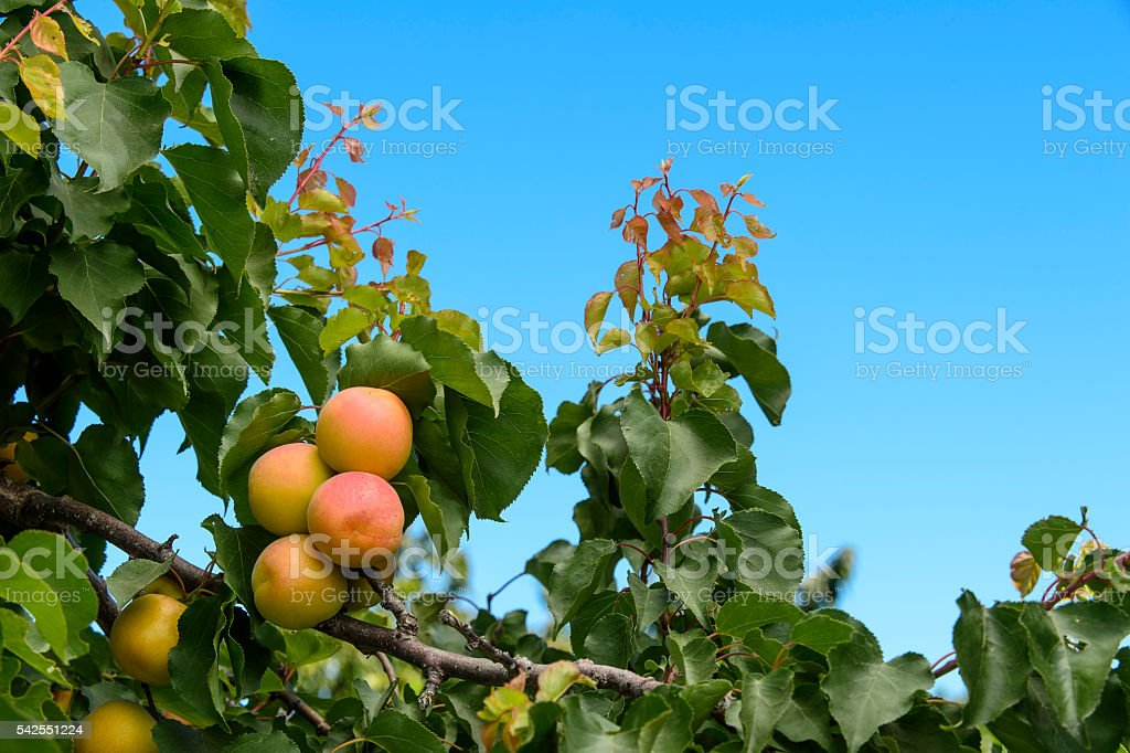 Close-up of Ripening Apricots on Tree stock photo