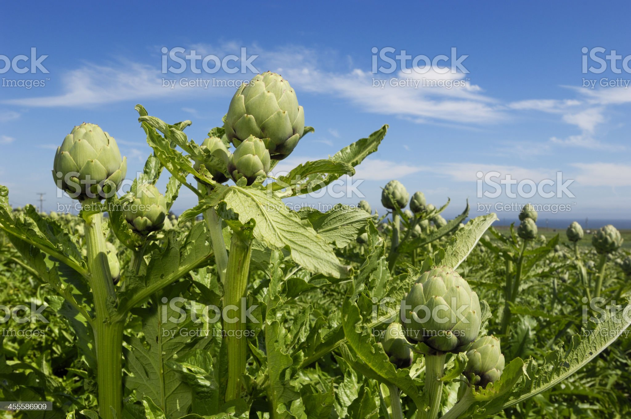 Close-up of Ripening Artichokes Globes Growing on Rural Farm royalty-free stock photo