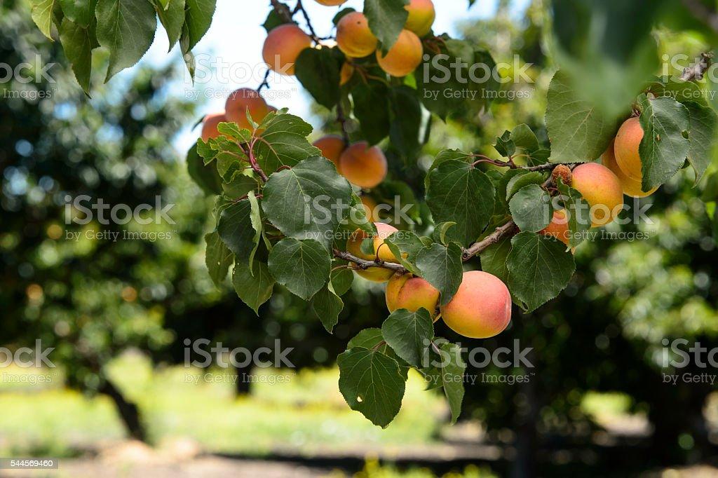 Close-up of Ripening Nectarines on Tree stock photo