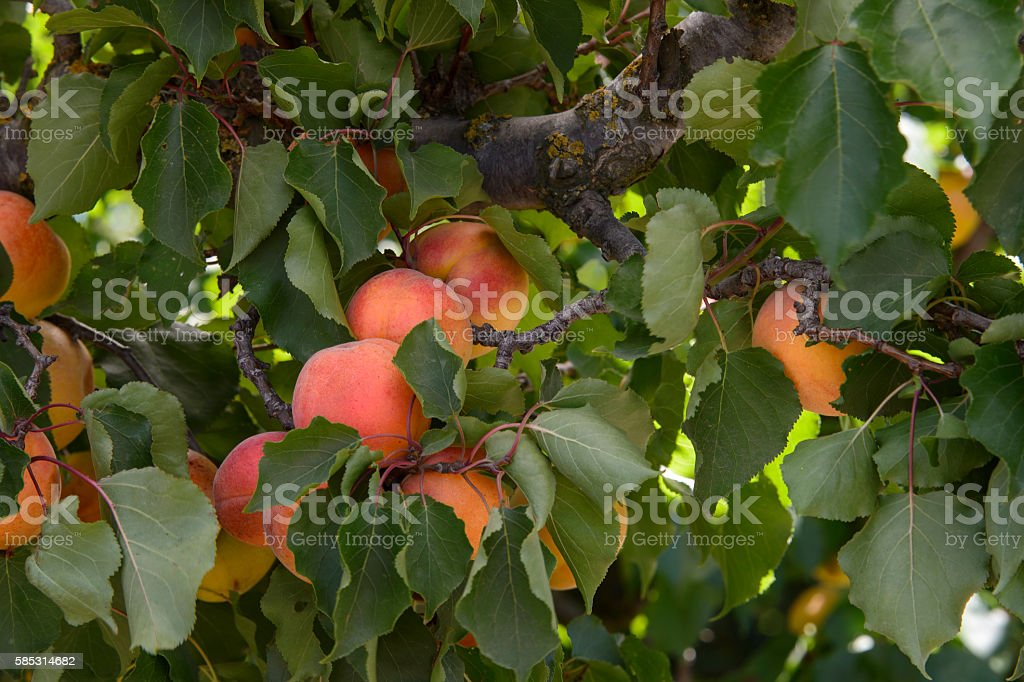 Close-up of Ripening Nectarines on Tree stock photo