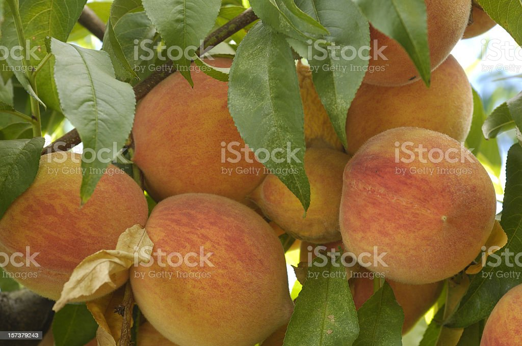 Close-up of Ripening Peaches on Tree stock photo