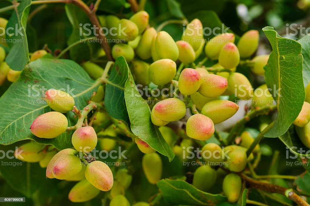 Close-up of Ripening Pistachio Nuts on Tree stock photo