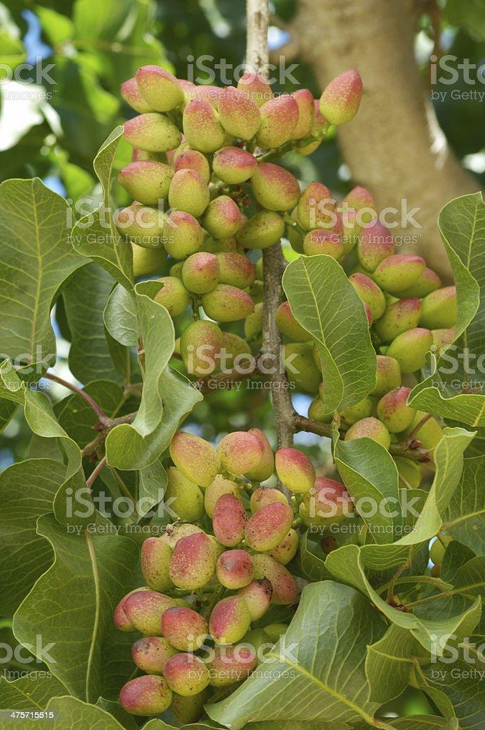 Close-up of Ripening Pistachio on Tree stock photo
