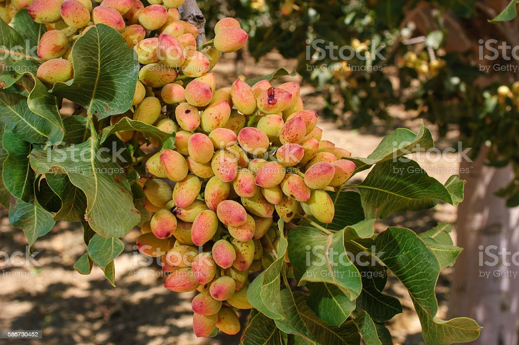 Close-up of Ripening Pistachio on Tree stock photo