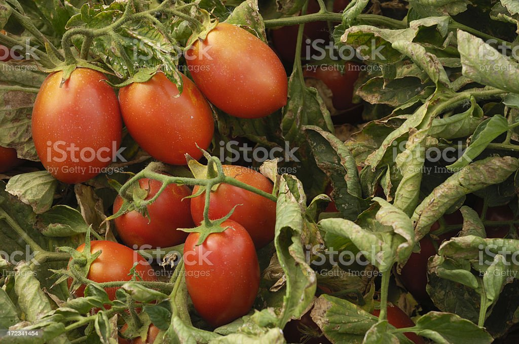 Close-up of Ripening Plum Tomatoes on the Vine royalty-free stock photo