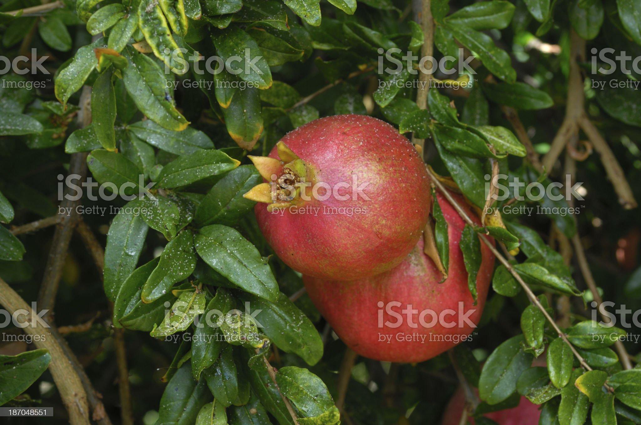 Close-up of Ripening Pomegranates On Tree royalty-free stock photo