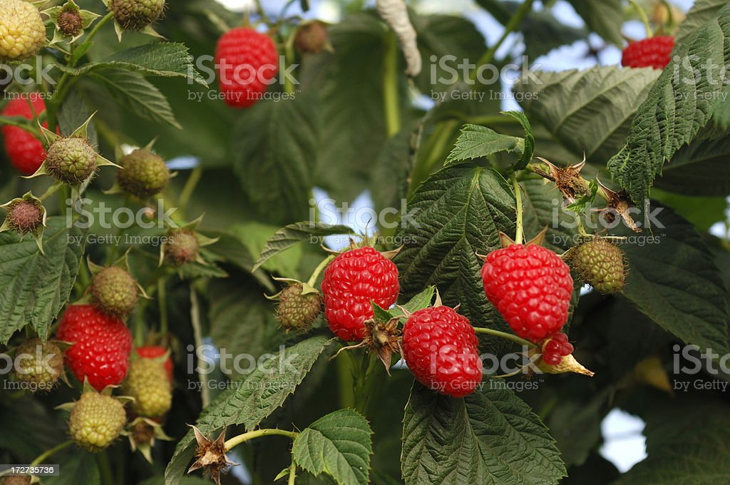 Close-up of Ripening Raspberries on the Vine stock photo