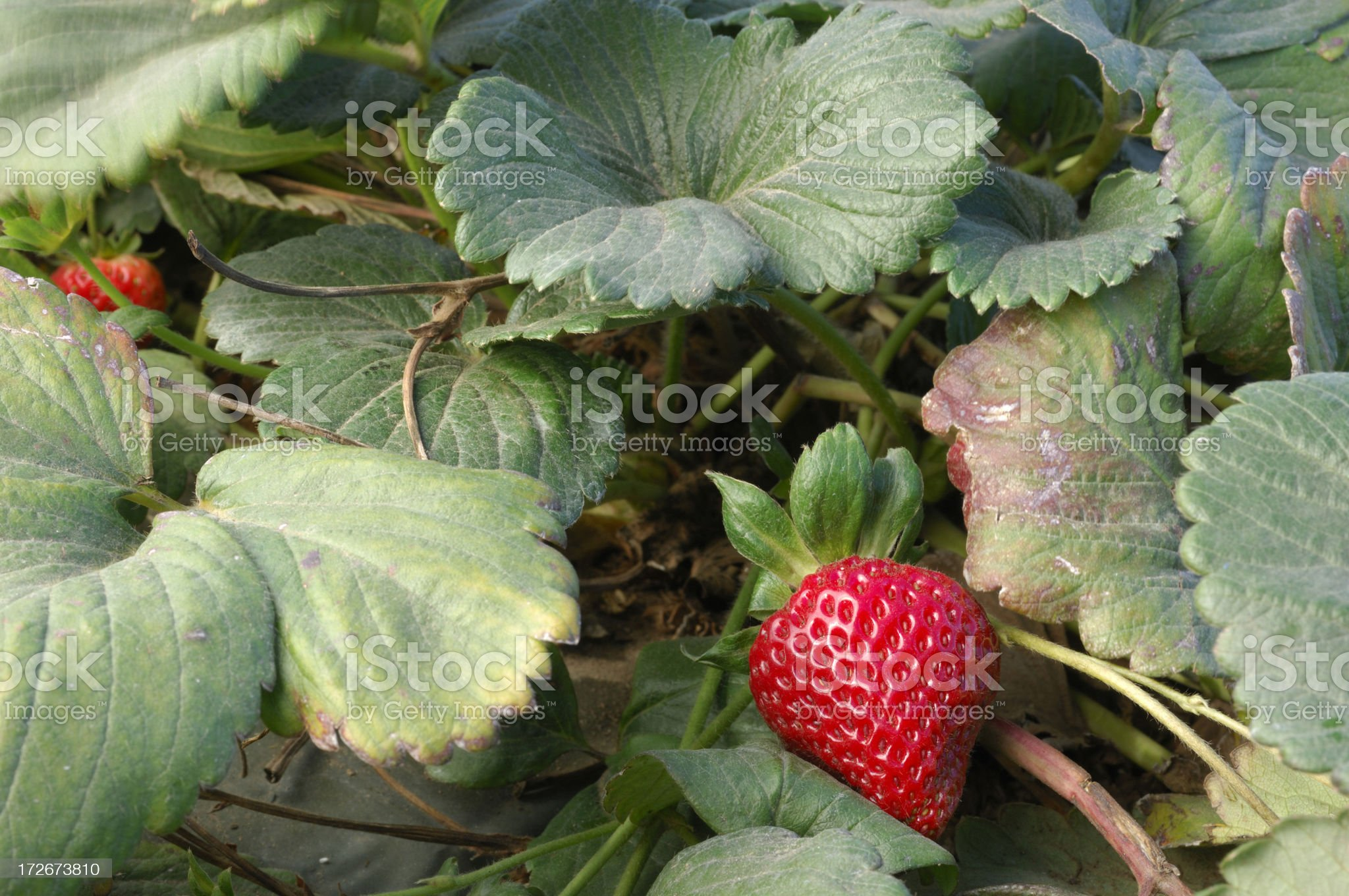 Close-up of Ripening Strawberies on the Vine royalty-free stock photo
