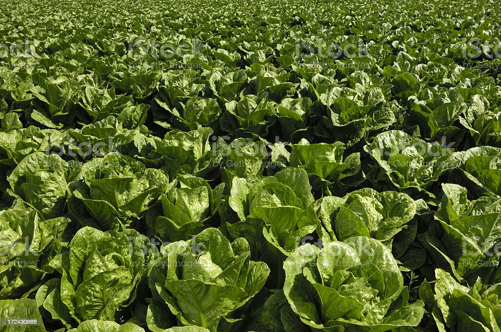 Close-up of Romaine Lettuce Growing on Farm royalty-free stock photo