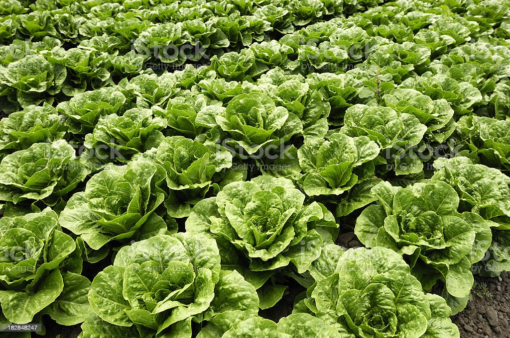 Close-up of Romaine Lettuce stock photo