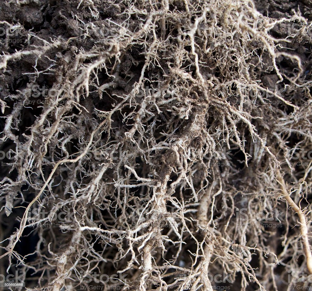 Close-up of root system of a maize plant stock photo